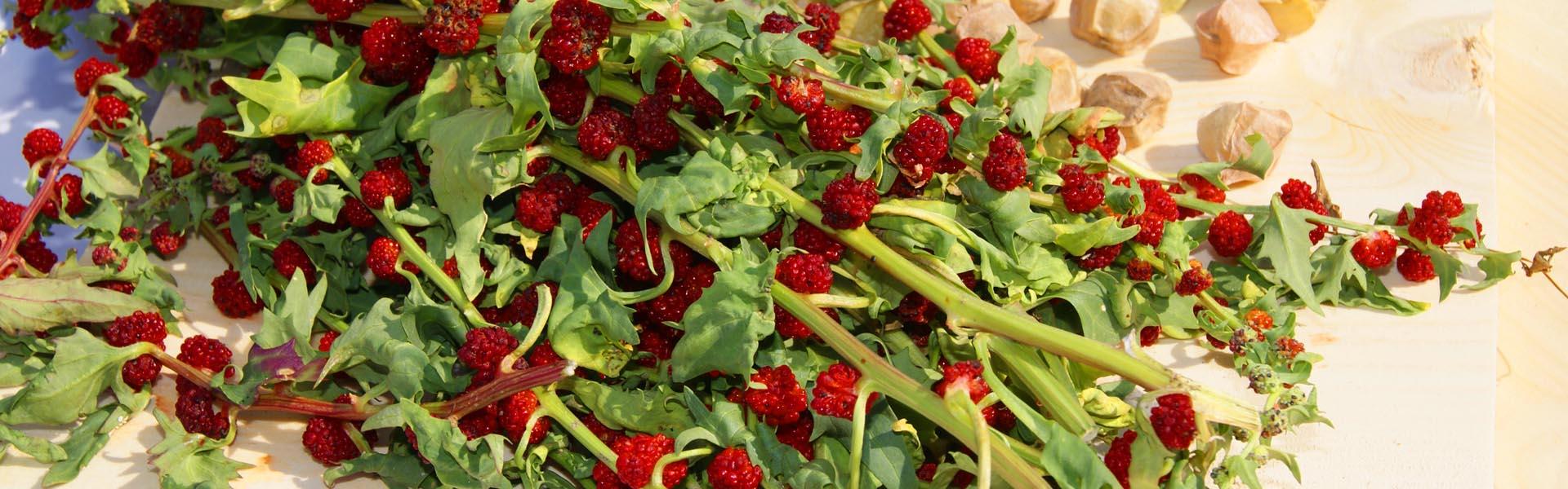 Erdbeerspinat  / Spinaci fragola