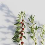 Spinaci fragola